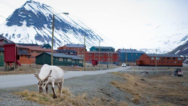 A reindeer eats in the streets of Longyearbyen - Sputnik International