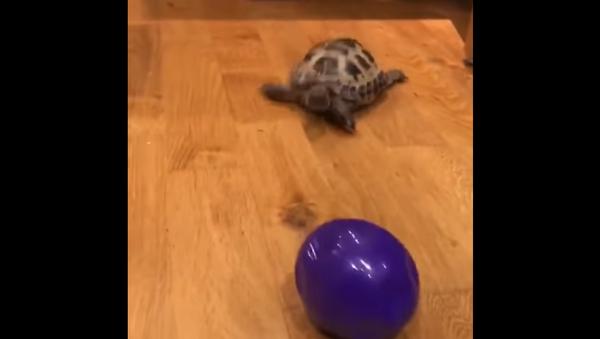 Tortoise Channels Inner Canine Instincts - Sputnik International