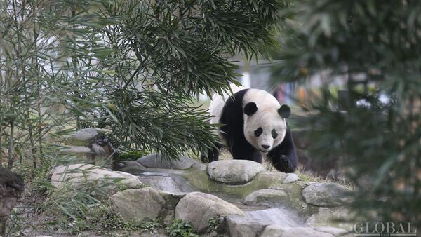 The US-born giant panda Baobao made its official debut on Friday after a one-month quarantine period at the Dujiangyan base of the China Conservation and Research Center for the Giant Panda in Southwest China's Sichuan Province - Sputnik International