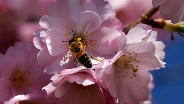A bee searches for pollen among cherry blossoms on a sunny spring day in Lausanne, Switzerland March 20, 2017 - Sputnik International