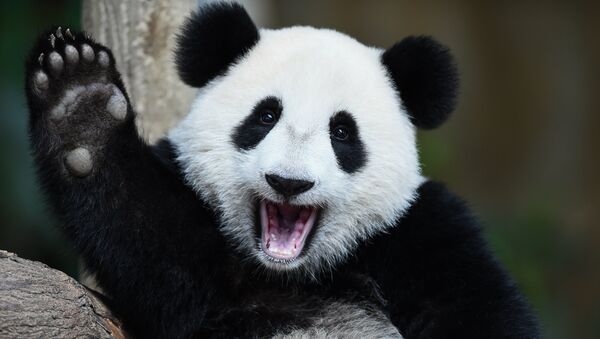 One-year-old female giant panda cub Nuan Nuan reacts inside her enclosure during joint birthday celebrations for the panda and its ten-year-old mother Liang Liang at the National Zoo in Kuala Lumpur on August 23, 2016. - Sputnik International