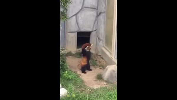 Red Panda Takes on Wild Enemy - Sputnik International