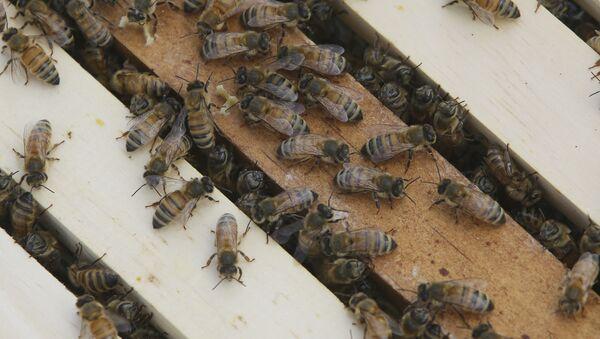 Honey bees congregate on top of frames - Sputnik International