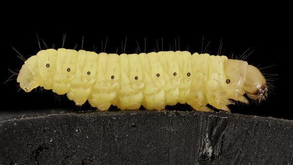 Galleria mellonella - The waxworm - Sputnik International