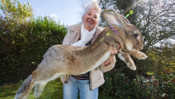 United Airlines Strikes Again: Simon, Set to Become World's Biggest Rabbit Dies on Flight - Sputnik International