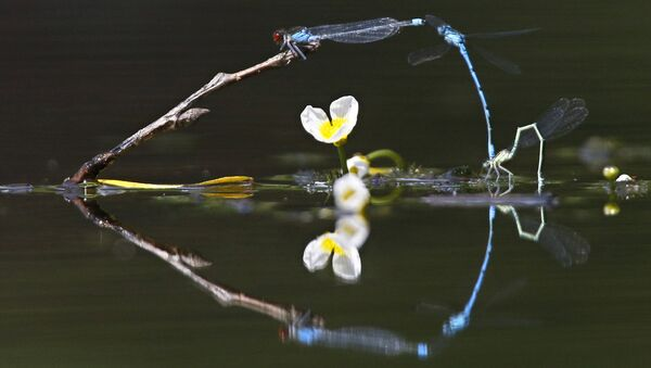 In this photo taken on Thursday, June 16, 2016, dragonflies fly above surface of a lake on a sunny day in the village of Viazynka, some 40 km (25 miles) northwest of Minsk, Belarus. - Sputnik International