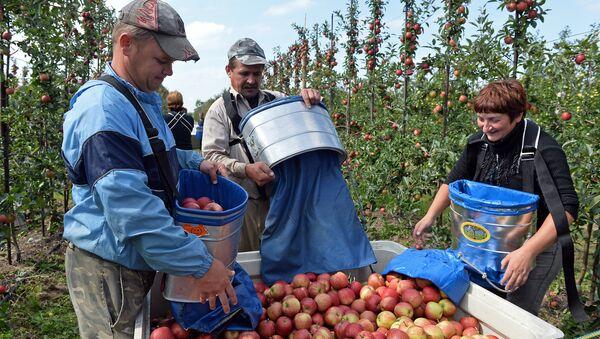 Ukrainian workers pick up apples at an apple orchard near Leczyszyce. File photo - Sputnik International