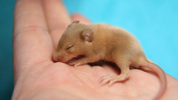 Baby mouse - Sputnik International
