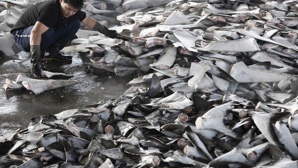 Shark finning In Taiwan - Sputnik International