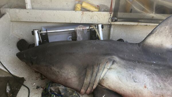 a 2.7-meter (9-foot) great white shark lays on the deck of Terry Selwood's fishing boat at Evans Head, Australia - Sputnik International
