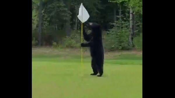 Bear Interrupts a Game of Golf in Anchorage, Alaska - Sputnik International