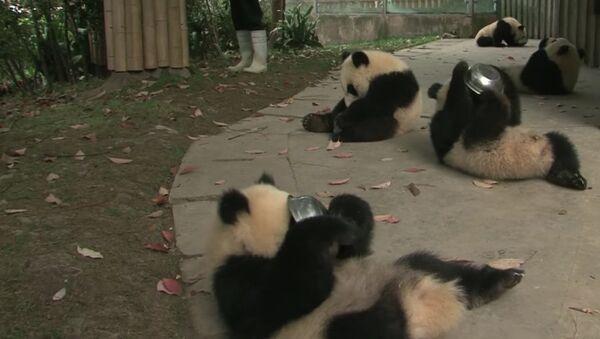 Panda cubs drink milk - Sputnik International