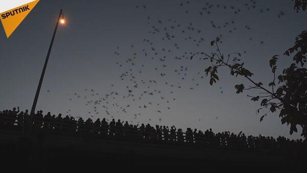 Thousands Of Bats Flying From Under Congress Avenue Bridge - Sputnik International