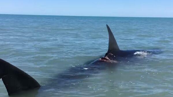 A 14-foot long shark captured on video in Baja California. - Sputnik International