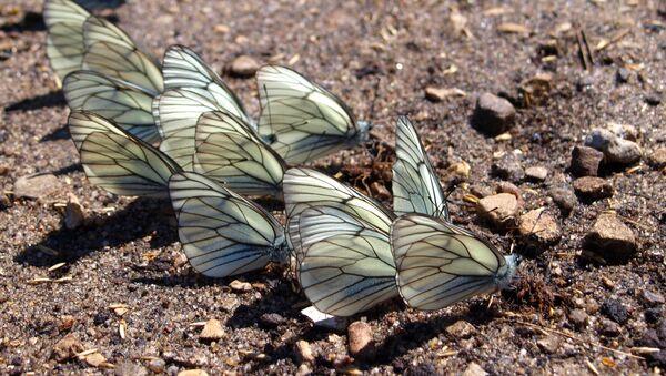 Black-veined white butterflies - Sputnik International