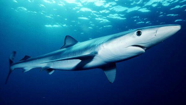 Blue shark (Prionace glauca) off southern California - Sputnik International