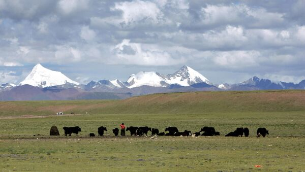 Tibetans graze their yak in the grasslands of the high Tibetan plateau in the county of Naqu, Tibet, China in this Thursday July 6, 2006 photo. - Sputnik International