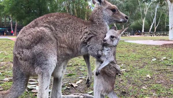 Baby Roo Takes First Steps - Sputnik International