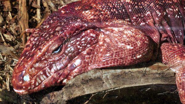 Red Tegu lizard - Sputnik International