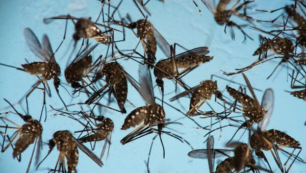 In this Sept. 29, 2016 photo, Aedes aegypti mosquitoes, responsible for transmitting Zika, sit in a petri dish at the Fiocruz Institute in Recife, Brazil.  - Sputnik International