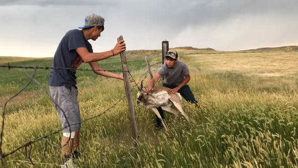 Antelope Rescued from Barbed Wire Fence - Sputnik International