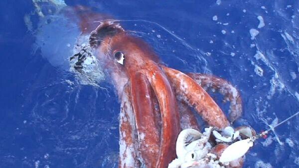 Giant squid - Sputnik International