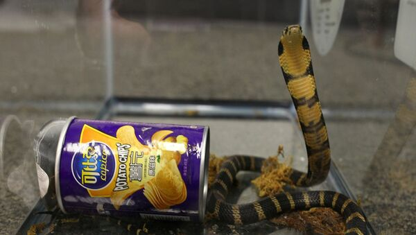 A king cobra snake seen coming out of container of chips in this undated handout photo obtained July 25, 2017. - Sputnik International