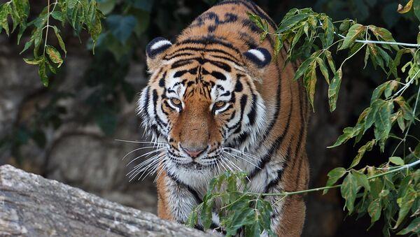 Siberian tiger called Umar at Moscow Zoo. (File) - Sputnik International