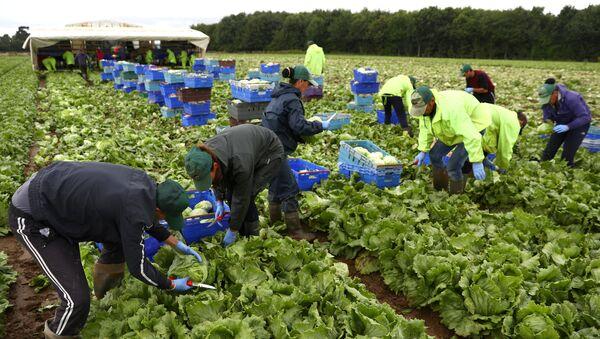 Migrant workers pick lettuce on a farm in Kent, Britain July 24, 2017. Picture taken July 24, 2017 - Sputnik International
