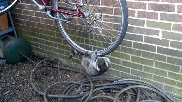 Raccoons hanging off bike - Sputnik International