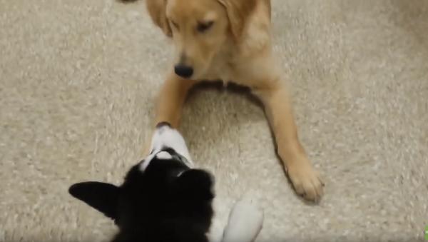 Obedience School Puppies Enjoy a Rowdy Recess - Sputnik International
