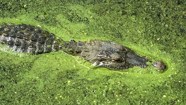 An alligator floats atop the water of 40-acre lake at Brazos Bend State Park in Needville, Texas - Sputnik International