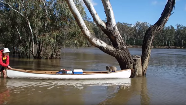 Australian Students Save Stranded Koala - Sputnik International