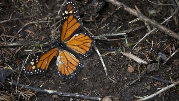 A dead butterfly lies on the ground (File) - Sputnik International