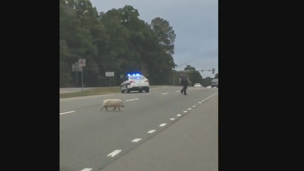 Road Hog: Virginia Police Chase Runaway Pig - Sputnik International