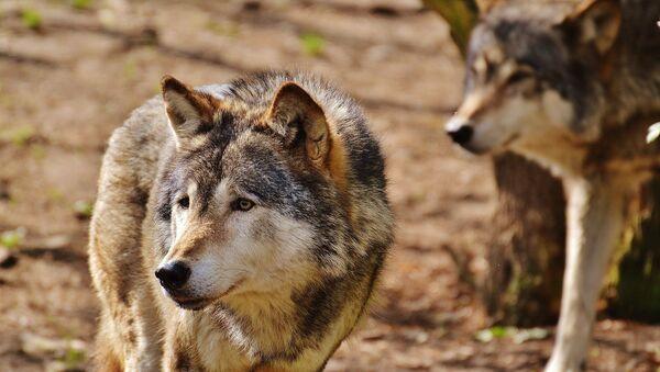 Wolves - Sputnik International