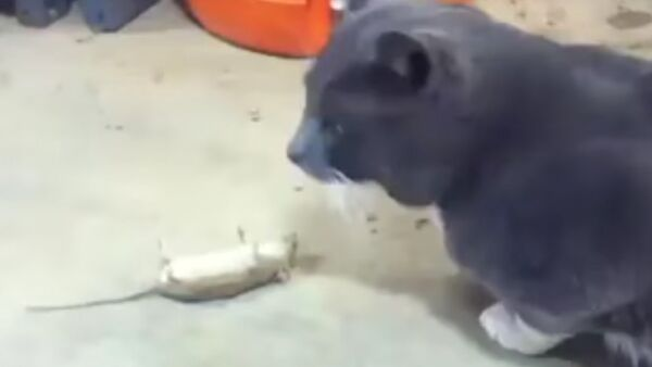 Cat is confused by mouse playing dead - Sputnik International