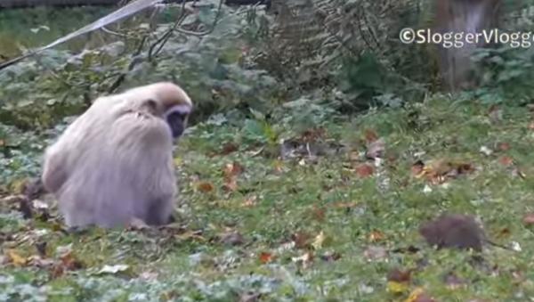 Shoo, Shoo! Gibbons Go Bananas Over Rat - Sputnik International
