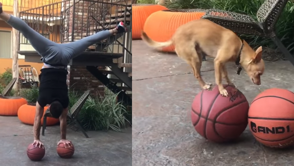 Agile Chihuahua Shows Owner How it's Done - Sputnik International
