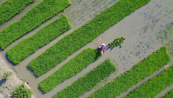 Villagers plant rice in a field in Lianyungang, in China's eastern Jiangsu province on June 4, 2017 - Sputnik International