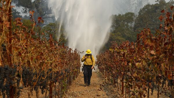 Firefighter Chris Oliver walks between grapevines as a helicopter drops water over a wildfire burning near a winery Saturday, Oct. 14, 2017, in Santa Rosa, Calif. - Sputnik International