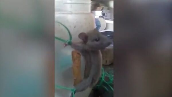 Shop Assistant ties up mouse and whips it for taking nourishment in a shocking video - Sputnik International