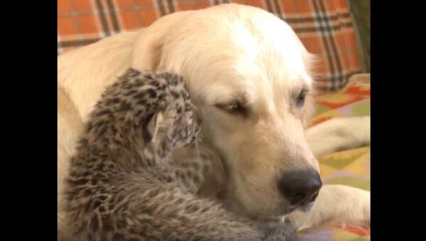 Good Kitty! Retriever Adopts a Leopard - Sputnik International