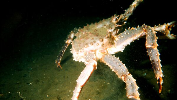 Large male red king crab (Paralithodes camtschaticus) in the Barents Sea - Sputnik International