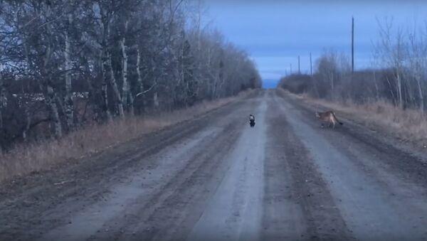 Cougar video - Sputnik International