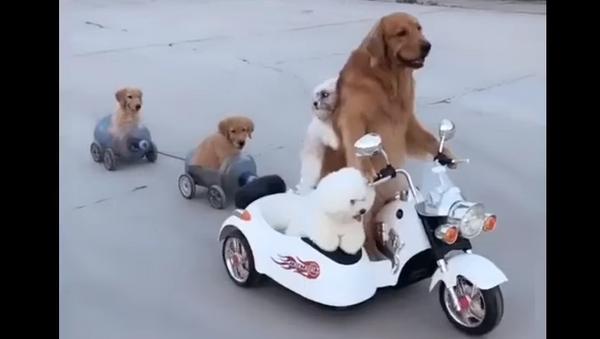Golden Retriever Cheerfully Chauffeurs His Fluffy Friends - Sputnik International