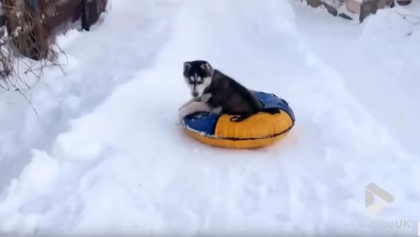 'Again, Again!' Russian Husky's Snow Tubing Obsession - Sputnik International