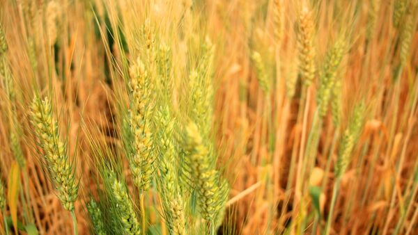 Barley - Sputnik International