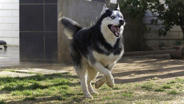 Husky dog - Sputnik International