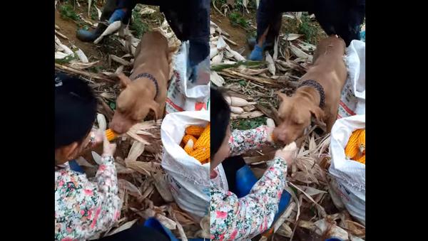 Farmer's Best Friend: Pooch Helps Shuck Corn - Sputnik International